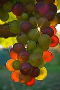 Wine - year in the vineyard