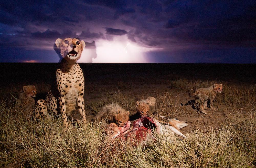 Tanzania, Ngorongoro Conservation Area, Ndutu Plains, Cheetah (Acinonyx jubatas) feeding on Thomson's Gazelle beside young cubs under lightning storm at night