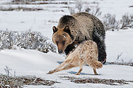 The grizzly persists, but the coyote has no interest in play; he's only interested in deterring the young bear.