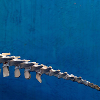 The bones leading down the tail of a manatee are on display at Mote Marine Laboratory in Sarasota, Fla., on Wednesday, August 23, 2006.  (PHOTO/CHIP LITHERLAND)