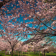 Sea of cherry blossoms under a blue sky, Washington, DC