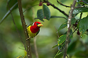 Red-headed Barbet (Eubucco bourcierii) Male<br /> Mindo<br /> Cloud Forest<br /> West slope of Andes<br /> ECUADOR.  South America<br /> HABITAT &amp; RANGE: Humid highland forest in Costa Rica and Panama, as well as the Andes in western Venezuela, Colombia, Ecuador and far northern Peru.