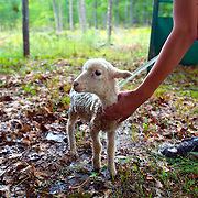 Washing a lamb before showing it at the  Oneida County Fair in Rhinelander, Wisconsin.