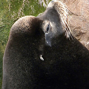 A sea lion snoozes in Monterey, California, on Sunday, January 11, 2010. (© 2010, Cindi Christie)