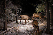 A small group of elk (Cervus elaphus) pass through Big Hole National Battlefield, Montana at 4:30AM. Photographed with a permit using a trail camera.