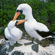 Nazca Booby male and female birds preen each other on the Galápagos Islands, Ecuador, South America. The Nazca Booby (which has an orange beak) was formerly regarded as a subspecies of the Masked Booby (which has a yellow beak) but is now recognized as a separate species. Nazca and Masked Booby species differ in size, nesting habits, and mtDNA cytochrome b sequence data.