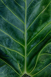 detail of a beautiful elephant leaf plant