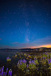 """Tahoe Lupine at Night 3"" - Photograph of flooded lupine wildflowers at Lake Tahoe. Shot at night, the Milky Way can be seen in the distance."