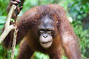 Bornean Orangutan, Pongo pygmaeus morio, Orang Utan Sanctuary Sepilok, Sabah, Borneo