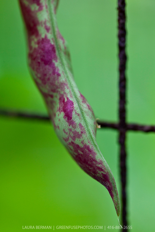Purple-streaked Rattlesnake pole bean pod on the vine.