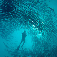 Swirling Mexican Barracudas and Diver