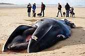 Holkham Fin Whale
