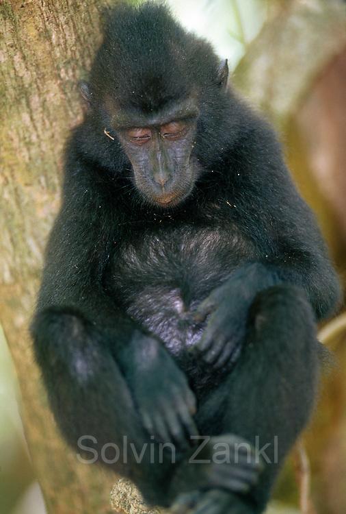 The Celebes Crested Macaque enjoys a break in the midday heat. | Der Schopfmakake hält ein kleines Schläfchen in der Mittagshitze.