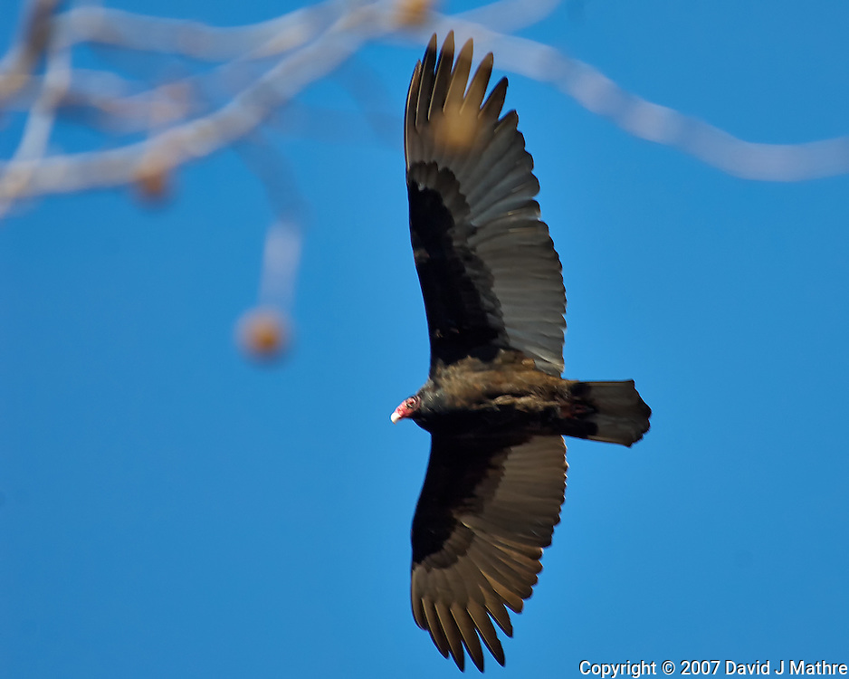 Turkey Vulture soaring in the morning sun. Image taken with a Nikon D2xs camera and 80-400 mm VR lens (ISO 200, 400 mm, f/5.6, 1/500 sec).