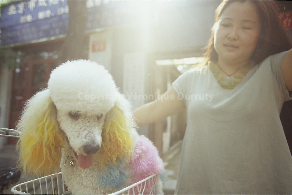 Life in the last Hutongs of Beijing : the dyed dog. China  // LA VIE DANS LES DERNIERS HUTONGS PEKINOIS : LE CHIEN COLORE. BEIJING, CHINE