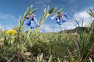 Bluebells (Mertensia sp), Mt. Ellis, Bozeman, Montana