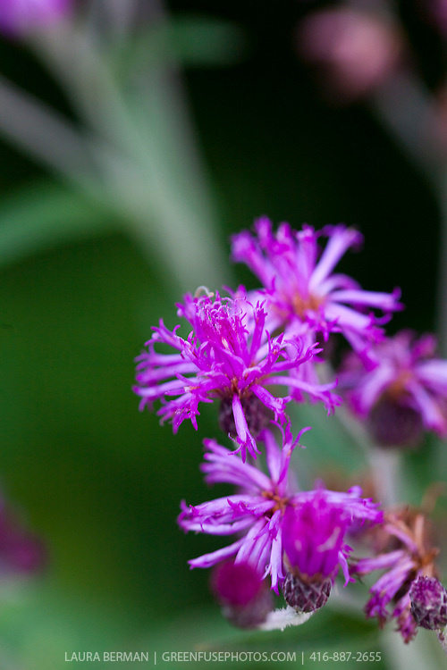 Ironweed is a perennial with showy purple flowers.  They were given the name ironweeds because of their stout stems that often persist throughout the winter.