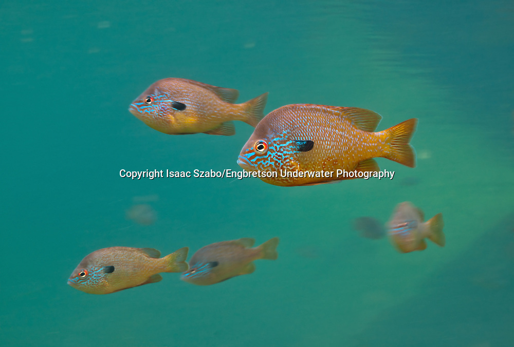 Group of Longear Sunfish<br />