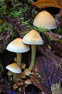 A group of mushrooms growing in the leaf litter on the forest floor at Campbell Valley Park in Langley, British Columbia, Canada