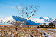 A lone tree in south-east Iceland with glaciers behind