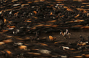 As the chagra (cowboy) herds the cattle into the corral they start moving around in a huge circle<br /> Yanahurco Hacienda (Ranch) - largest privately owned ranch in Ecuador (25,000 Hectares)<br /> Base of Cotopaxi Volcano<br /> Andes<br /> ECUADOR.  South America