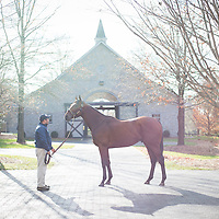 American Pharoah is inspected by breeders at Coolmore's Ashford Stud in Frankfort, Ky., Thursday, December 3, 2015. (Photo by David Stephenson)
