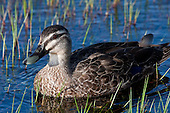Grey Duck Pictures - Photos