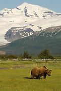 Alaskan Brown Bear,Ursus middendorffi, in front of Hallo Glacier,  Katmai National Park, Alaska