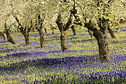 Prune trees in blossom, Chehalem Mountain wine country, Oregon