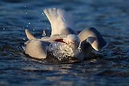 Larus novaehollandiae (Red billed gull)
