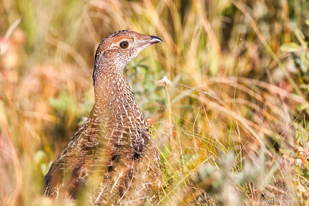 A female greater sage-grouse (Centrocercus urophasianus) looks out from a grassy area in the Waterton Lakes National Park, Alberta, Canada.