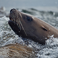 USA, Alaska, Steller's Sea Lion (Eumetopias jubatus) swimming at surface of Frederick Sound on summer evening