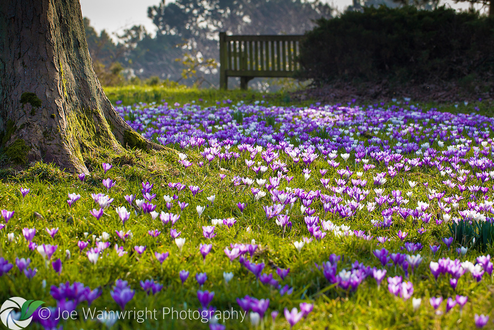 A colourful display of naturalised crocuses at Ness Botanic Gardens, Cheshire.