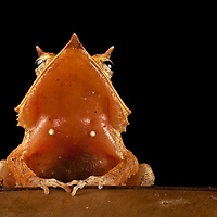 Finalist, BBC Wildlife Photographer of the Year 2012. Honorable Mention, FotoWeek DC Natural History Portfolio 2011. Eyelash frog, Ceratobatrachus guentheri, on a leaf