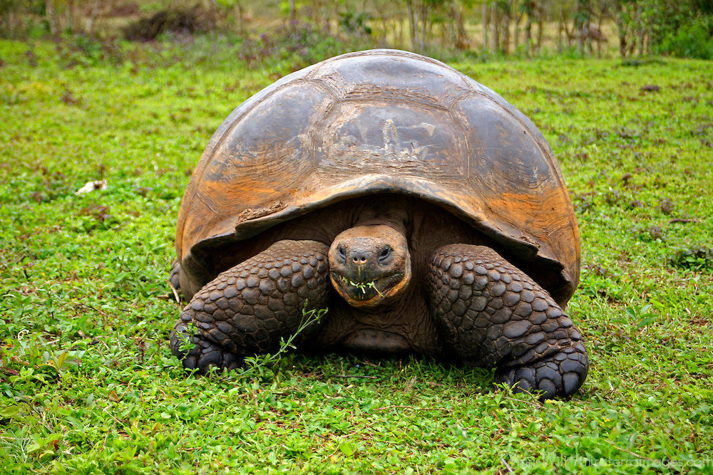 America, South America, Ecuador, Galapagos Islands, Santa Cruz Island. The Galapagos Tortoise in the highlands of Santa Cruz Island.