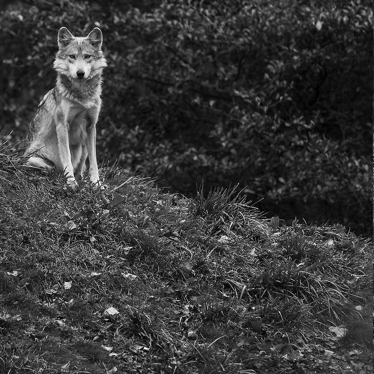 Soul Survival: Mexican Gray Wolf (Scientific name: Canis lupus baileyi)<br />