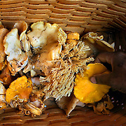 October 13, 2003  - Portland chef Marco Shaw of NE Portland's Fife Restaurant sorts through a basket of freshly picked  chanterel mushrooms and a few other varieties found while hunting north of Carson, Washington, in the Gifford Pinchot National Forest.