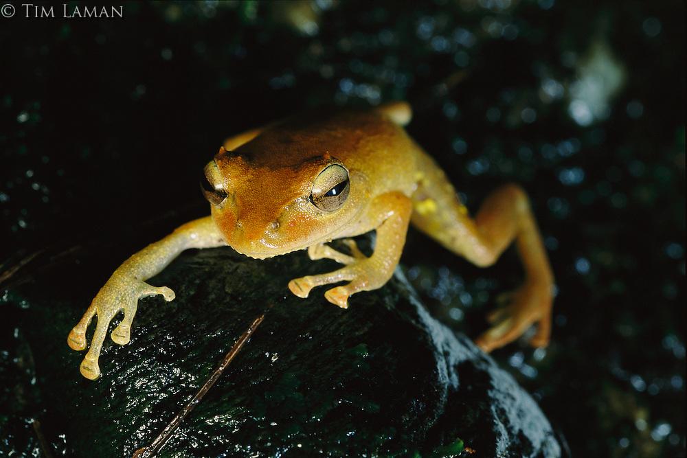 Close-up of a Panay cloud frog (Platymantis panayensis).