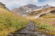 Dwarf Fireweed (Epilobium latifolium) grows along a stream from snowmelt at the summit of Crow Pass in the Chugach National Forest in Southcentral Alaska. Summer. Afternoon.