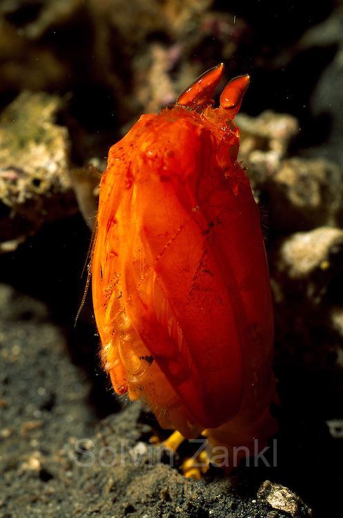 "Aus der reglosen Lauerstellung heraus kann der Fangschreckenkrebs (Lysiosquilloides mapia) seine zusammengefalteten Fangbeine in Sekundenbruchteilen um fast eine Körperlänge nach vorne schnellen lassen. | Mantis shrimp (Lysiosquilloides mapia) This species has been described by (Erdmann & Boyer, 2003), on the basis of a specimen collected in front of Mapia resort, Manado. The specific adjective comes from a word whose meaning is ""beautiful"" in an Indonesian dialect."