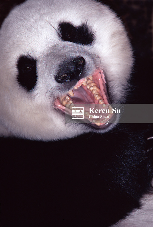Giant panda, mouth open showing teeth, Wolong, Sichuan, China