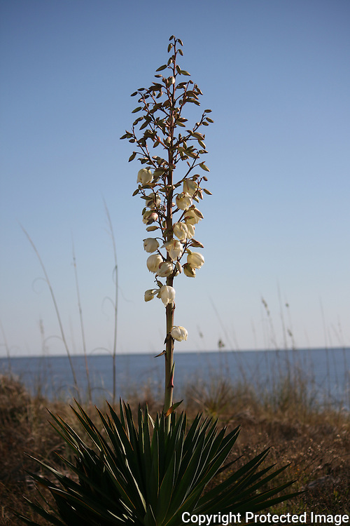 A lone, flowering Yucca on a South Georgia Beach.
