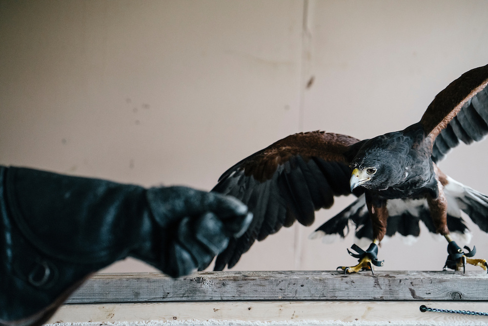 Rodney Stotts approaches Gerdie, one of four Harris Hawks at the Wings Over America raptor sanctuary in Maryland on March 17, 2016.