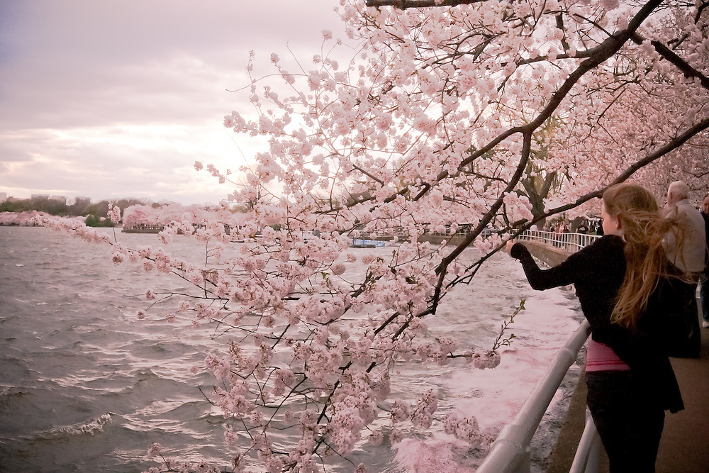 Cherry blossoms at the Tidal Basin.