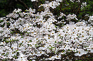 Eddie's White Wonder Dogwood flowers (hybrid between Cornus nuttallii x Cornus florida).  This hybrid was developed between the Pacific Dogwood and the Flowering Dogwood partly to avoid the fungus that damages the Pacific Dogwood.  This hybrid also has a much higher density of flowers than the native Dogwood species.