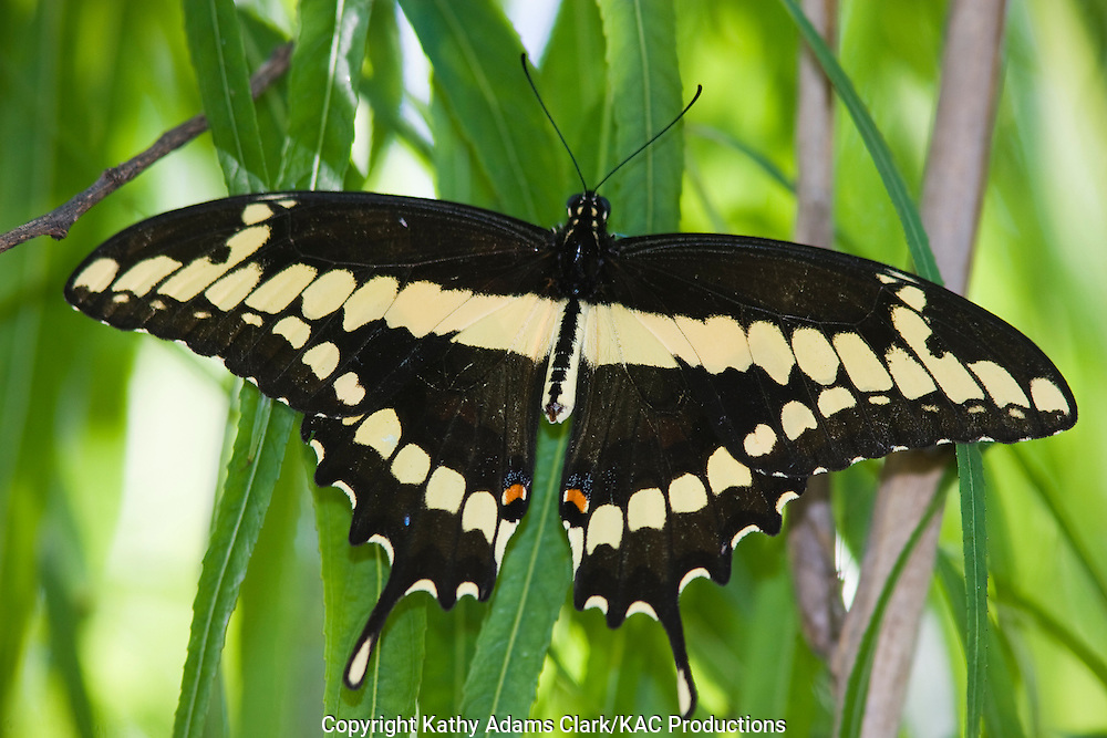 Giant swallowtail butterfly, Papilio cresphontes, Sabine Woods to Sea Rim State Park, along the Upper Texas Coast. spring