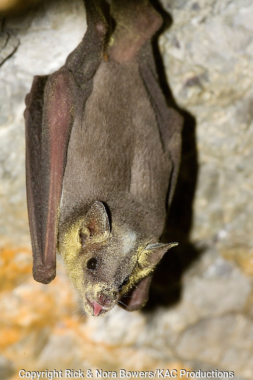 Lesser Long-nosed Bat.Leptonycteris curasoae.Chiricahua Mountains, ARIZONA, United States.23 August     Adult at Parry's Agave flowers.    Phyllostomidae