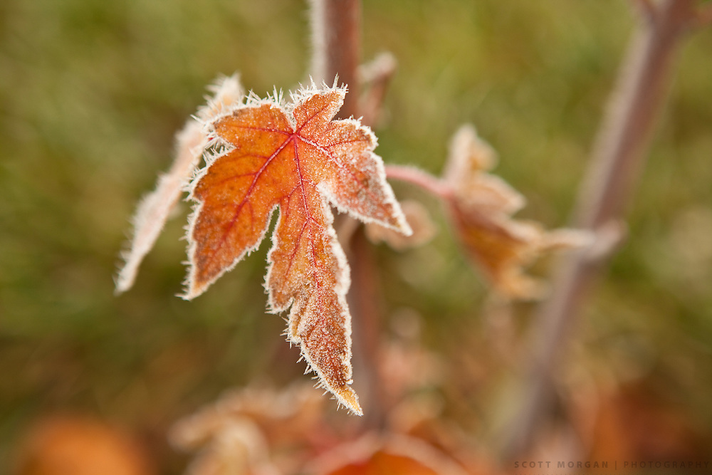Frost on maple leaves Monday, Nov. 15, 2010, in Rockford, Illinois..Photo by Scott Morgan 2010