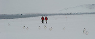 Model Released photo a couple of tourists walking and talking at a Gentoo Penguin ( Pygoscelis papua )  rookery.