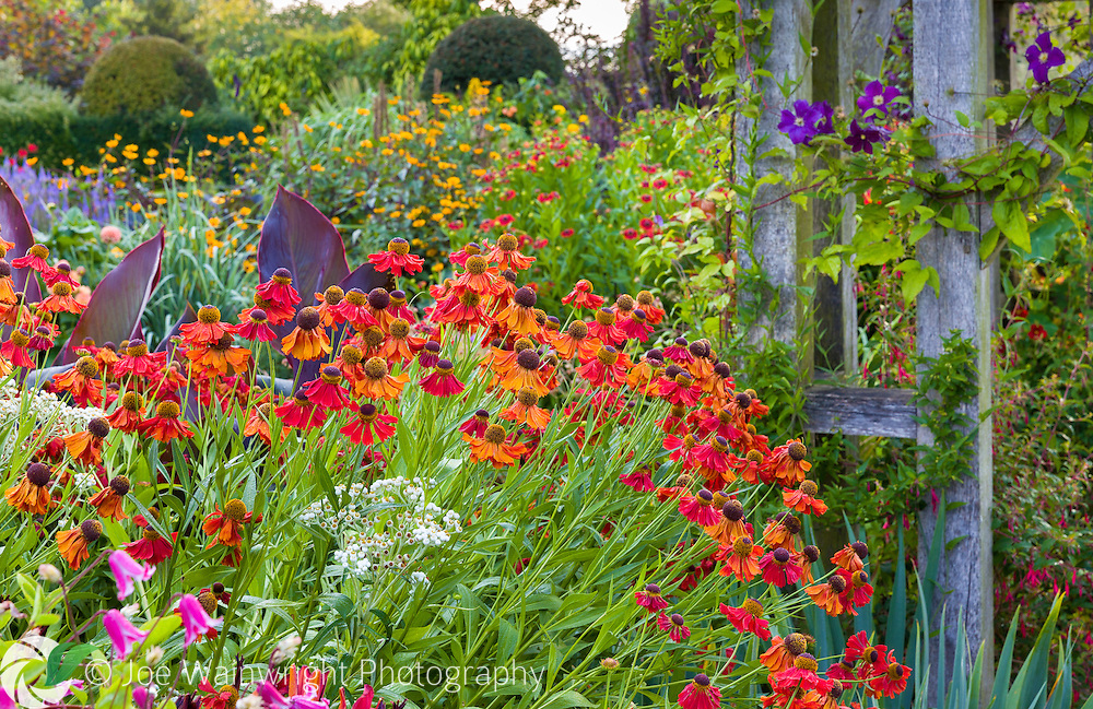 Heleniums bring hot tones to the Lanhydrock Garden at Wollerton Old Hall Garden, Shropshire - photographed in July